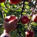 幼稚園のイベントで、りんご狩り♪ 園内も秋色いっぱいでした^^