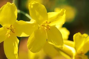 キャベツの花。カワイイ。